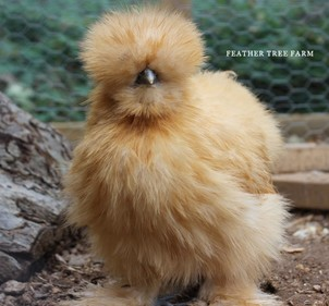 buff silkies feather tree farm